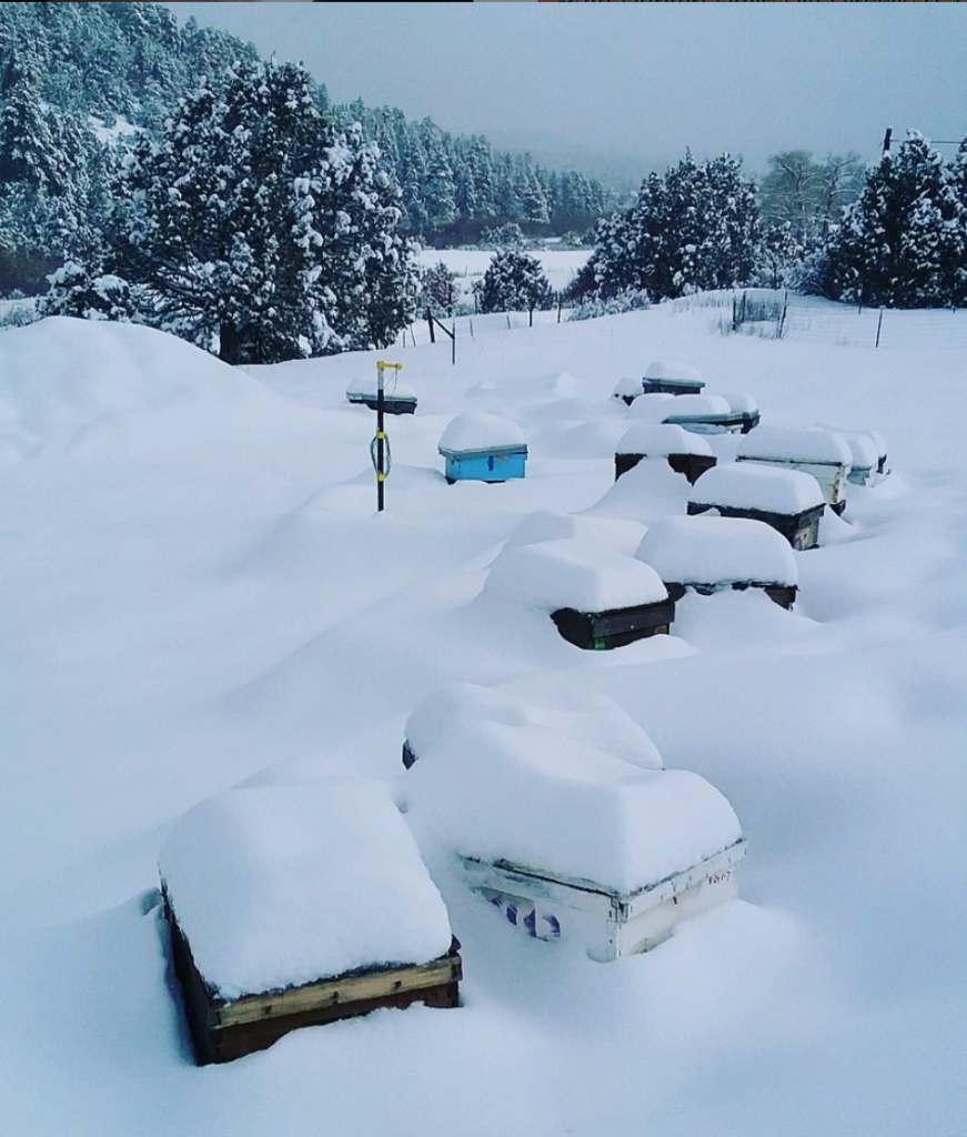 Breeder hives insulated in snow!